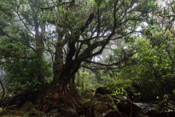 Misty laurel forest in Madeira stock photo