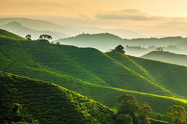 Misty morning at Cameron Highlands tea plantation overlooking layered hills stock photo