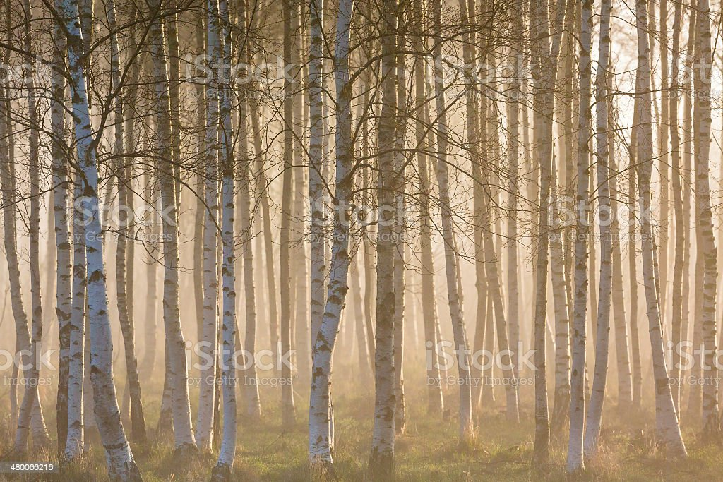 Misty morning in birch forest​​​ foto