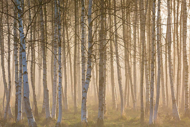 Misty morning in birch forest stock photo