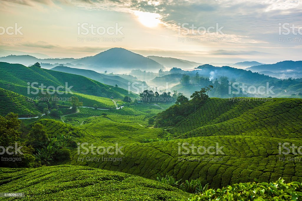 Misty morning in Cameron Highlands tea plantation. stock photo