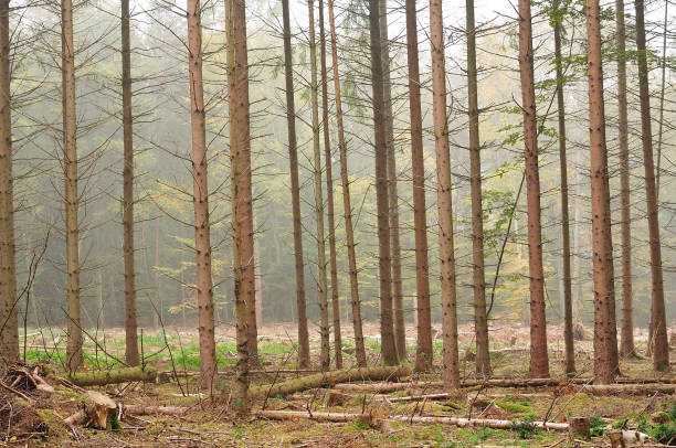 misty morning in forest timber forest on foggy autumn morning with bare tree trunks monoculture stock pictures, royalty-free photos & images