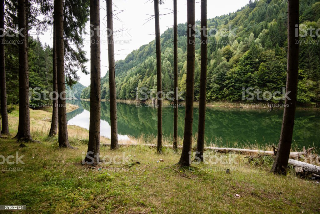 Misty morning in the woods. forest with tree trunks royalty-free stock photo