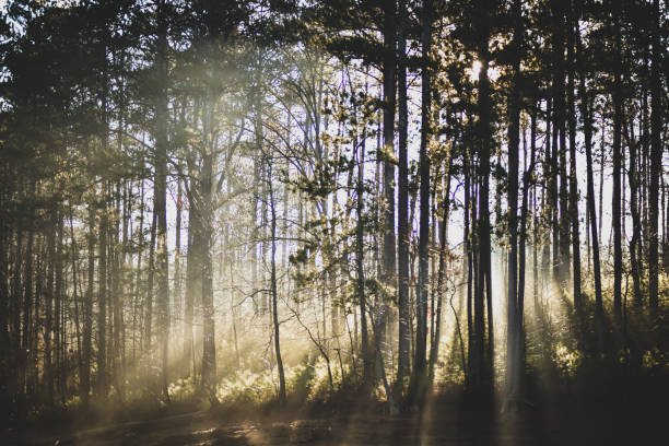 Misty Morning Sunrise Through the Pines stock photo