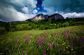 Color image depicting a lush purple flower meadow in rural Transylvania, Romania. The fresh, lush green grass gives way to a misty mountain in the distance.