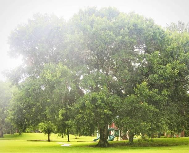 Misty Oak Tree stock photo