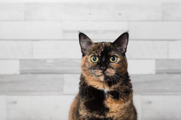 Misty Domestic tortoiseshell cat in studio setting tortoiseshell cat stock pictures, royalty-free photos & images