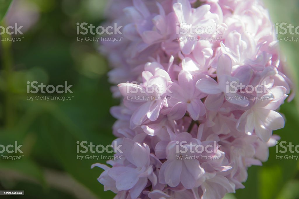 Misty purple lilac inflorescence royalty-free stock photo