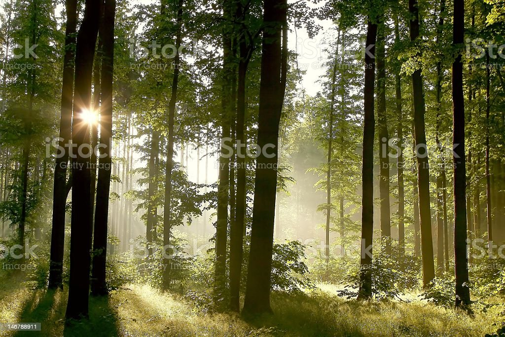 A misty spring morning in the depth of a forest royalty-free stock photo