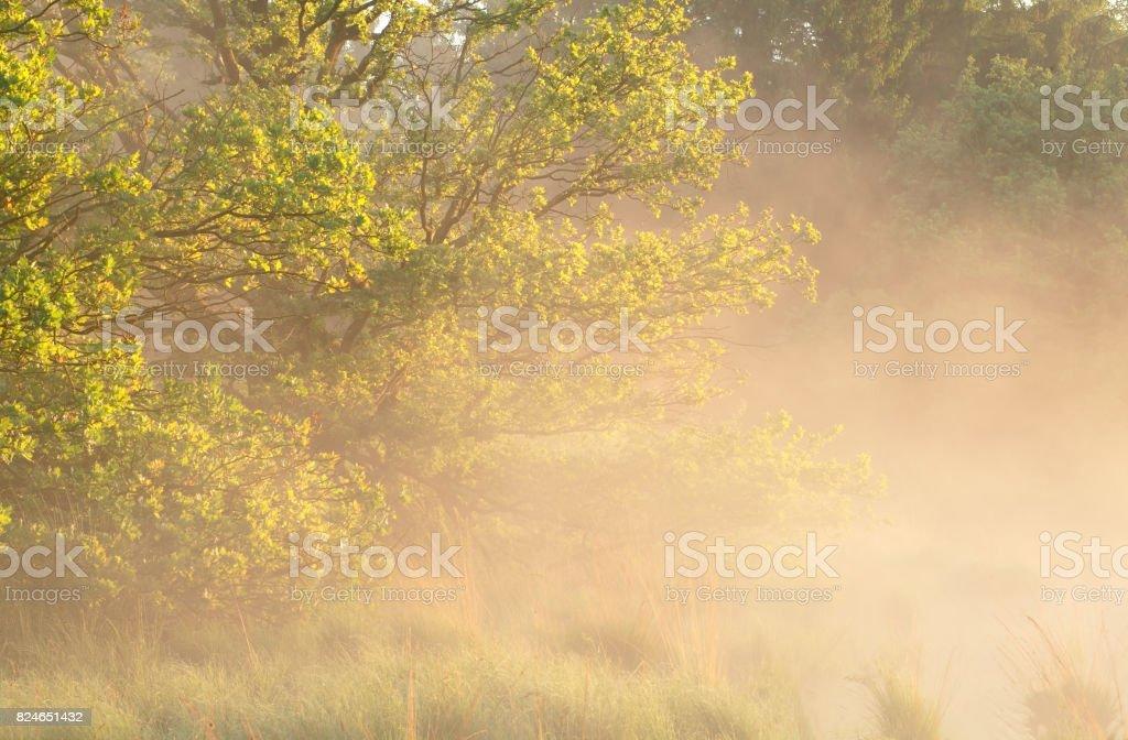 misty summer sunny morning among oak trees stock photo