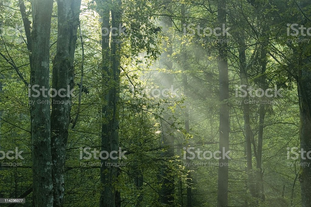 Misty sunrise  in the forest royalty-free stock photo