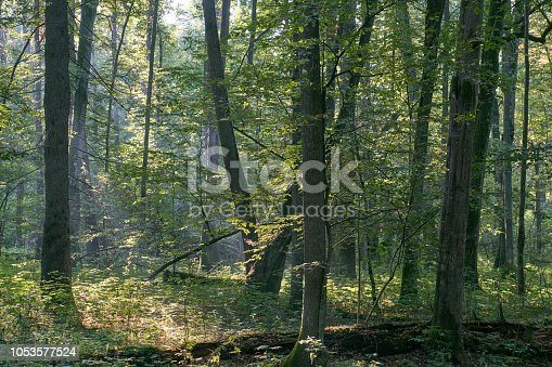 Misty sunrise morning in deciduous forest with old alder trees, Bialowieza Forest, Poland, Europe