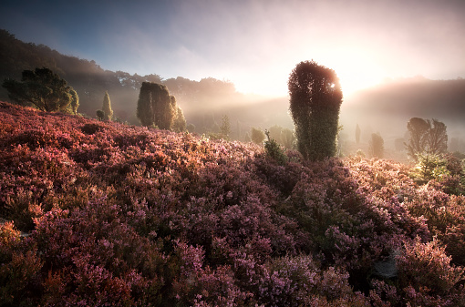 misty sunrise on hills with flowering heather