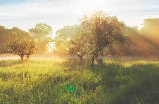 nebligen sonnenaufgang auf der orchard - streuobstwiese stock-fotos und bilder