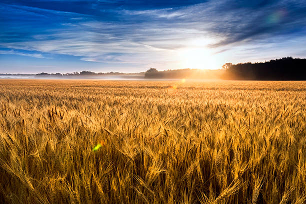 Misty sunrise over wheat field in Kansas This field of wheat in central Kansas is nearly ready for harvest. An unusual misty morning added a low fog and misty drops to the wheat stalks. Focus is on wheat closest in foreground. wheat stock pictures, royalty-free photos & images