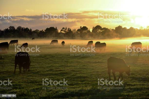 Misty sunrise with cows grazing in field picture id946166184?b=1&k=6&m=946166184&s=612x612&h=dkyva p7azdqj7t 8d4oozu93qzbzqxynpepajuw8g8=