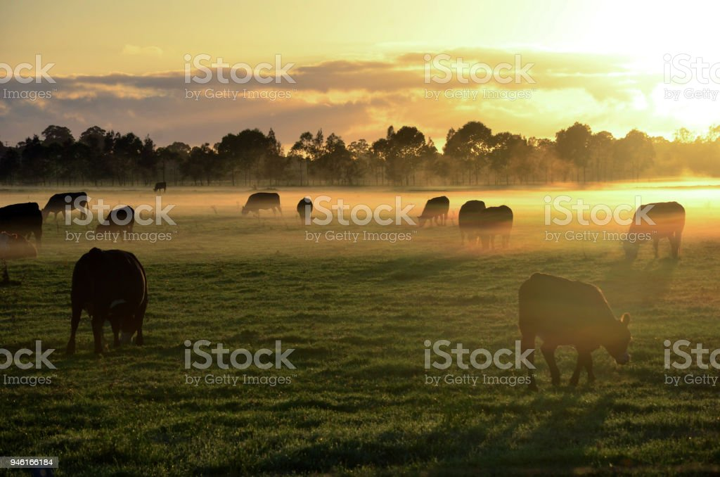 Misty sunrise with cows grazing in field stock photo