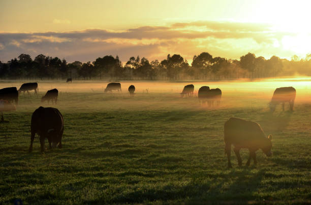 Misty sunrise with cows grazing in field Rural landscape with herd of cows in morning fog at sunrise in Morpeth, NSW, Australia herbivorous stock pictures, royalty-free photos & images