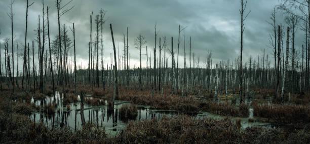 marais brumeux dans la forêt - arbre à feuilles caduques photos et images de collection