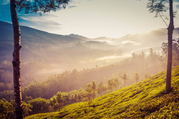 Misty Tea Plantation in Evening stock photo