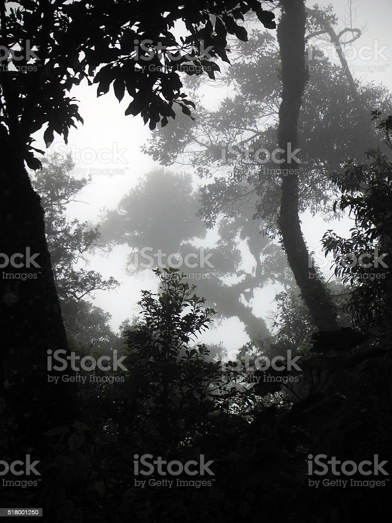 Misty Trees in Acatenango Volcanic Cloud Forest stock photo