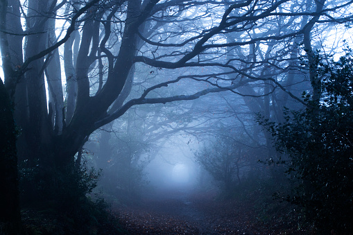 Haunting mist amongst gnarly trees in a forest early in the morning.