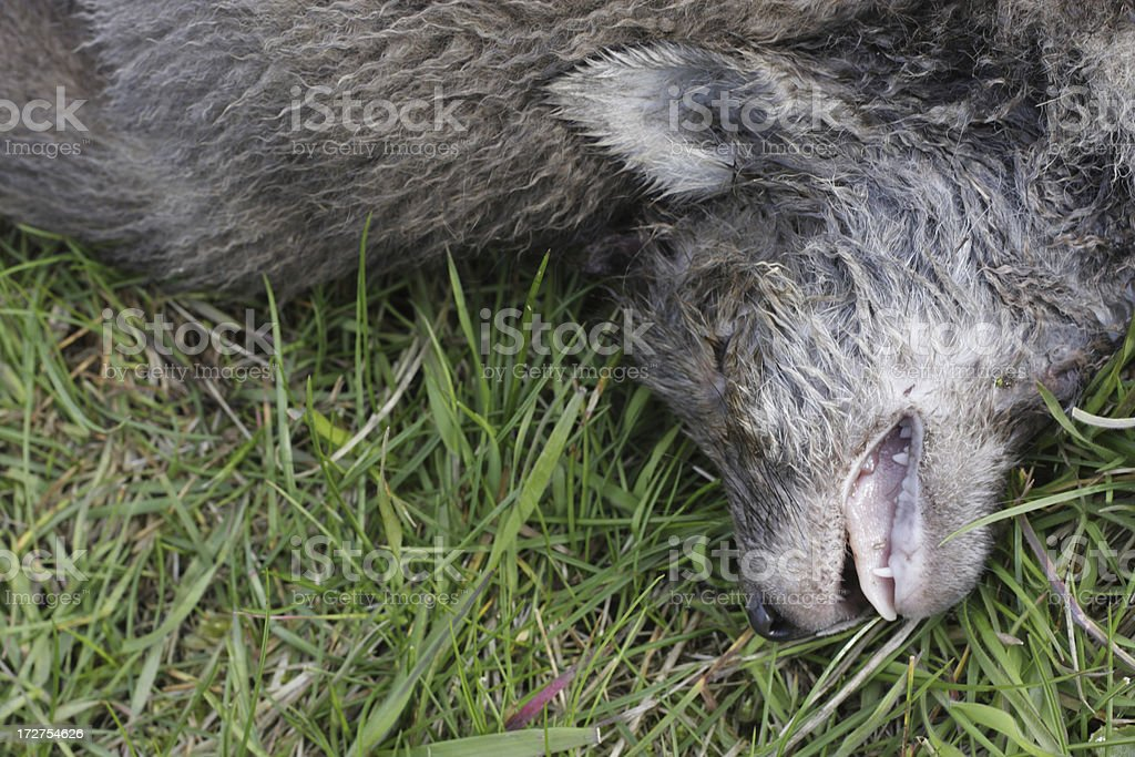 Found dead grey cub of red fox Vulpes stock photo