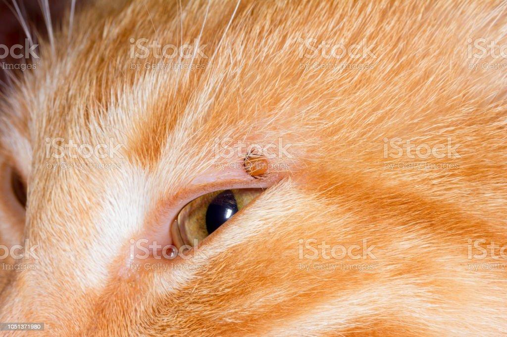 sangsue de l'acarien coincé dans la paupière d'un chat rouge - Photo de Chat domestique libre de droits