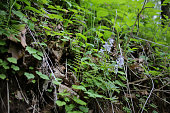 Miterwort and Thyme-Leaved Speedwell Growing on a Forest Floor