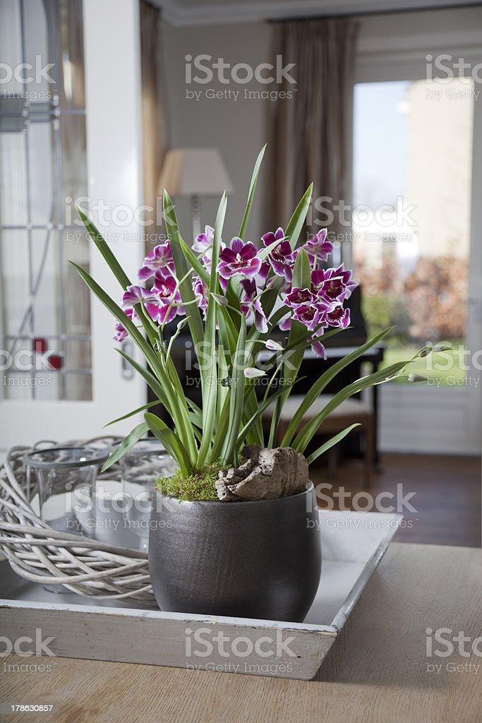 Mitonia orchid in interior stock photo