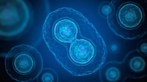 mitose - zellteilung der bakterien. 3d abbildung gerendert. - neuanfang nach trennung stock-fotos und bilder