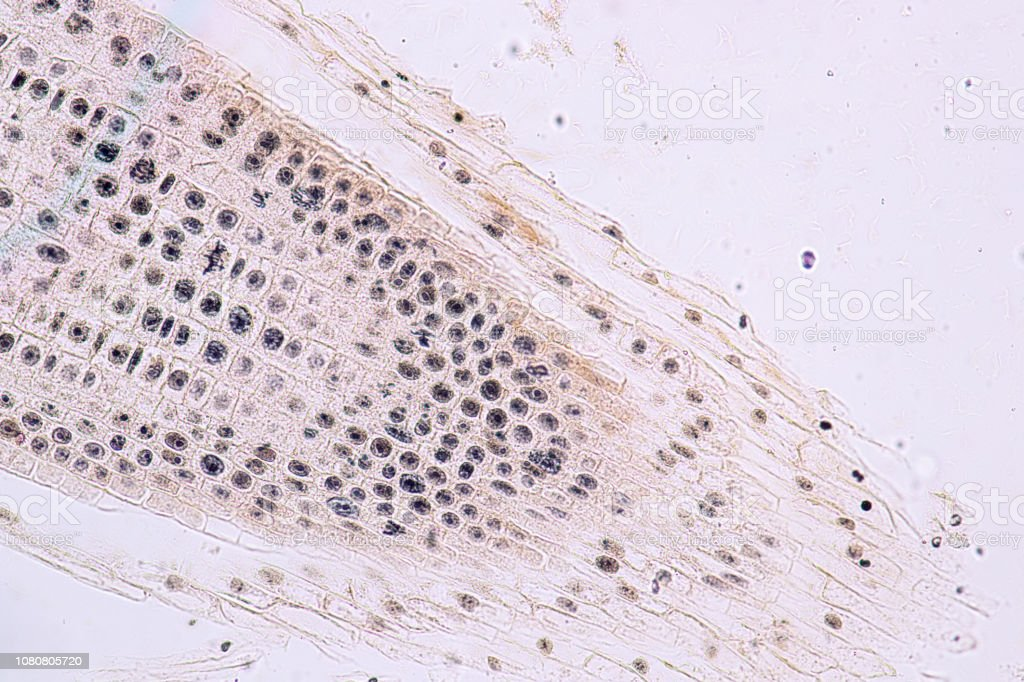 Mitosis cell in the Root tip of Onion under a microscope. stock photo