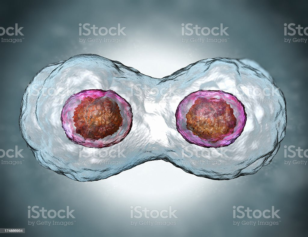 Mitosis. Stage two royalty-free stock photo
