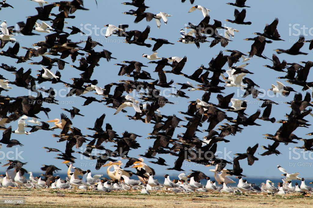 Mix big flock of different waterbirds take off from the shore stock photo