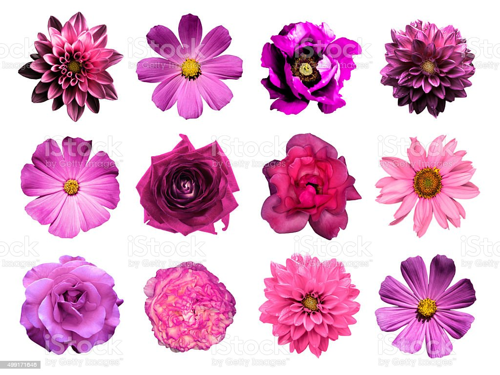 Mix collage of natural and surreal pink flowers: dahlias stock photo