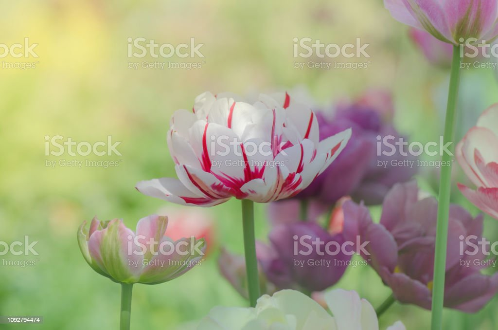 Mix of spring tulips flowers. Mixed color tulips in garden. Landscape...