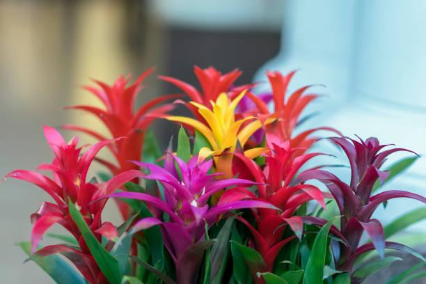 Mix of colorful bright Guzmania, fine representative of the bromeliad or pineapple family, leader in design of interiors stock photo