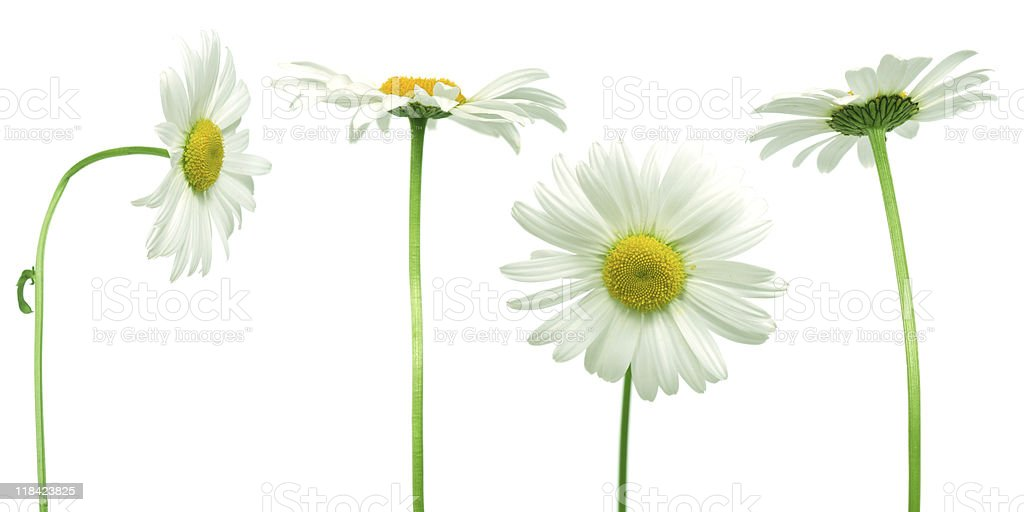 mix of daisies stock photo