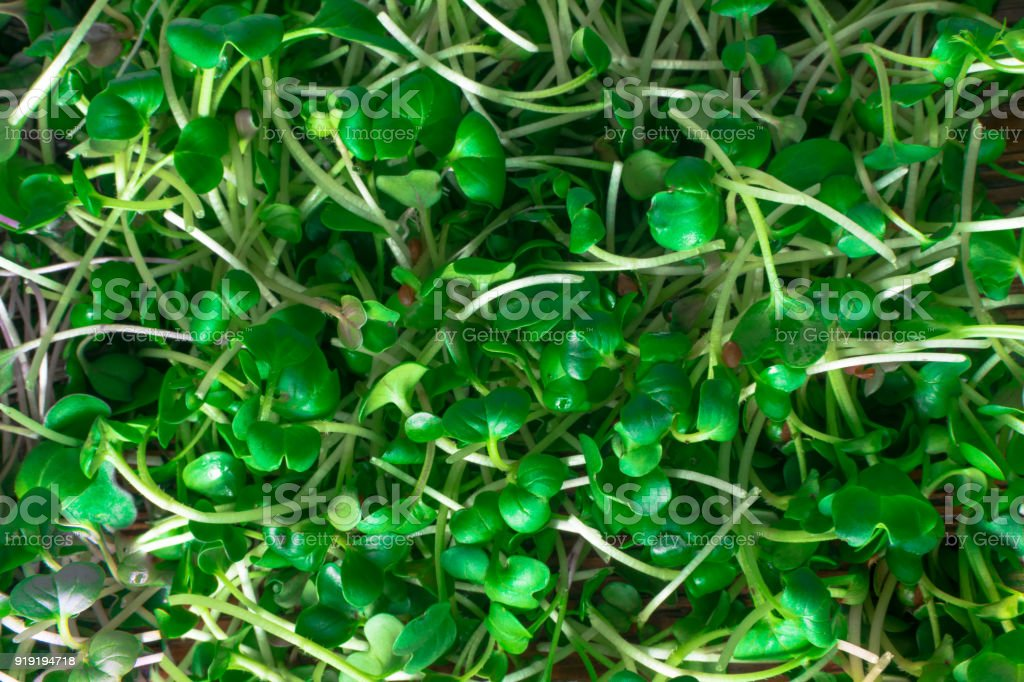 mix of green sprouts stock photo