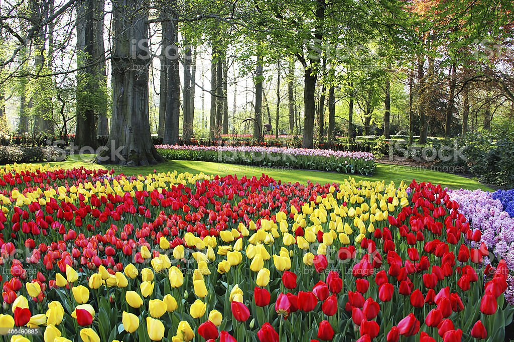 Mix of Holland tulips and hyacinths stock photo