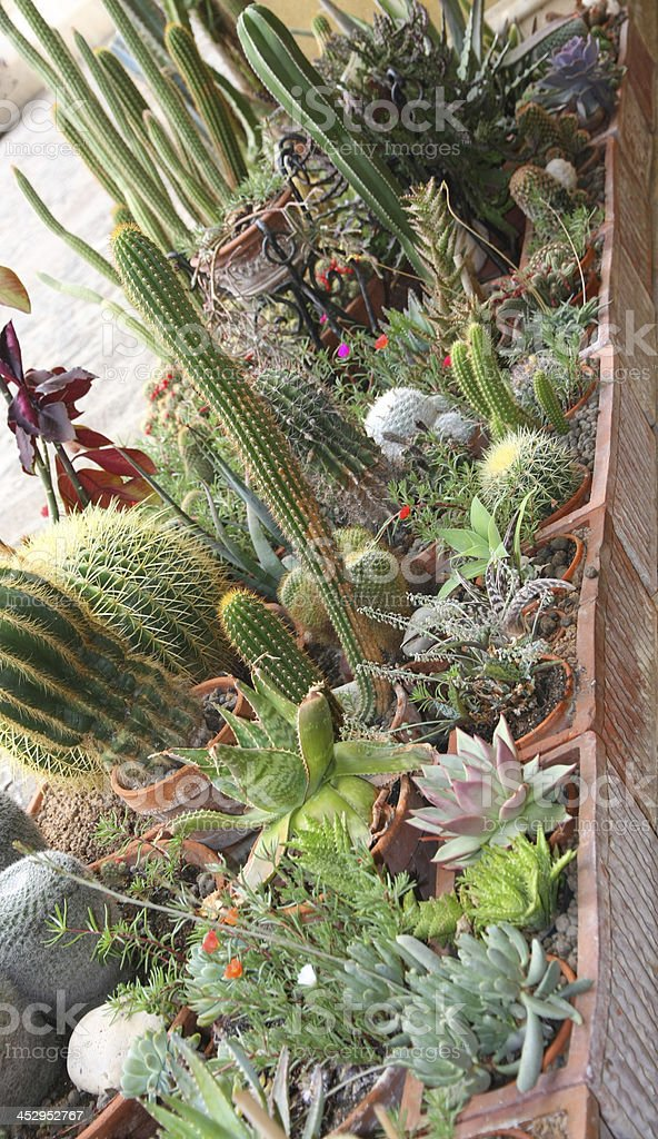 mix of many succulents and cactus stock photo