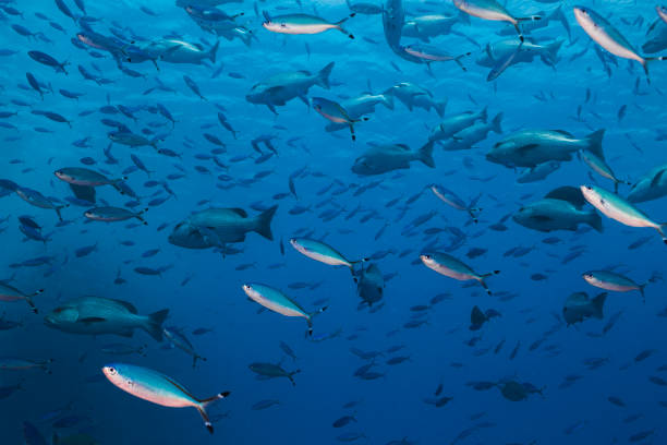 Mix of snapper fish and Red Sea fusiliers swimming in the blue water stock photo