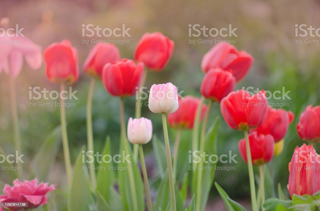 Landscape with tulip field. Multicolored tulip field. Tulip field in...