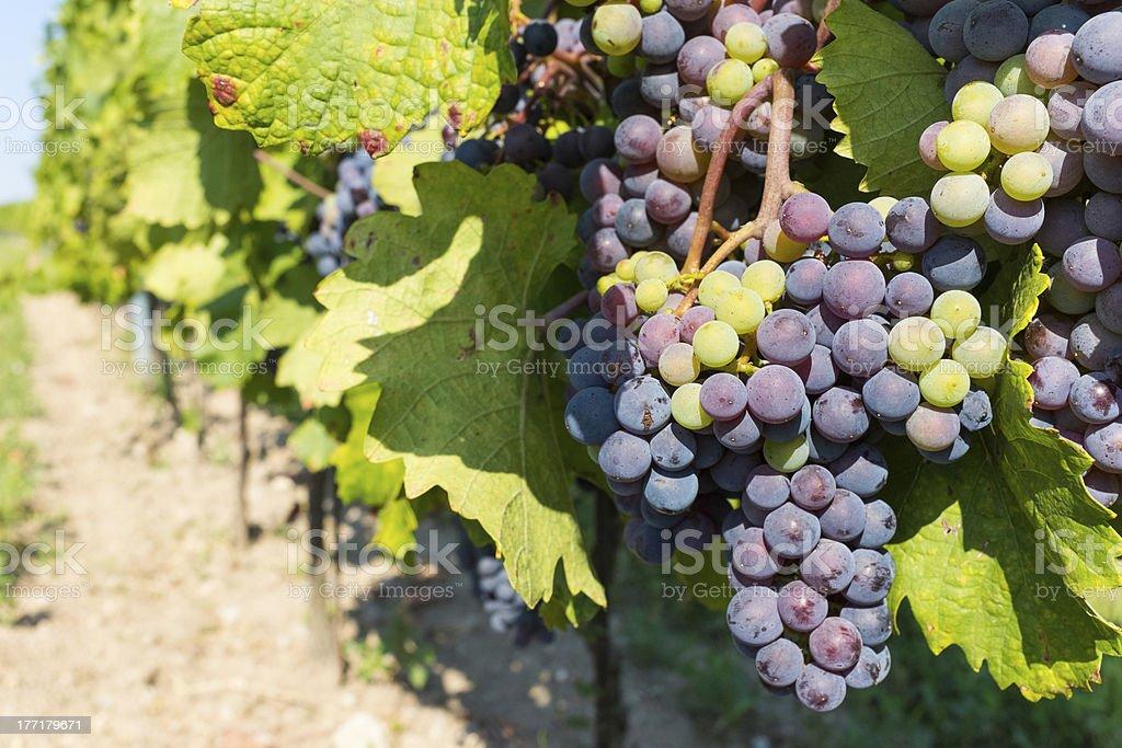 Mixed Berries in Vineyard royalty-free stock photo