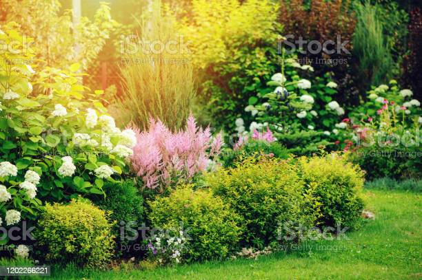 Photo of mixed border in summer garden with yellow spirea japonica, pink astilbe, hydrangea. Planting together shrubs and flowers