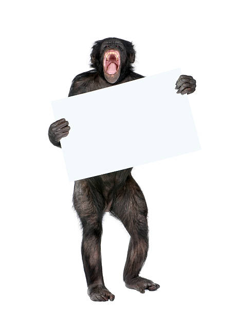 Mixed breed between Chimpanzee and Bonobo holding blank poster stock photo