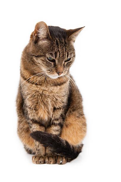 Mixed breed cat 6 months old sitting picture id454100859?b=1&k=6&m=454100859&s=612x612&w=0&h=weyk0wnhjfm0sp1ld5t0ioejgzlujxstmm2lshvl95q=