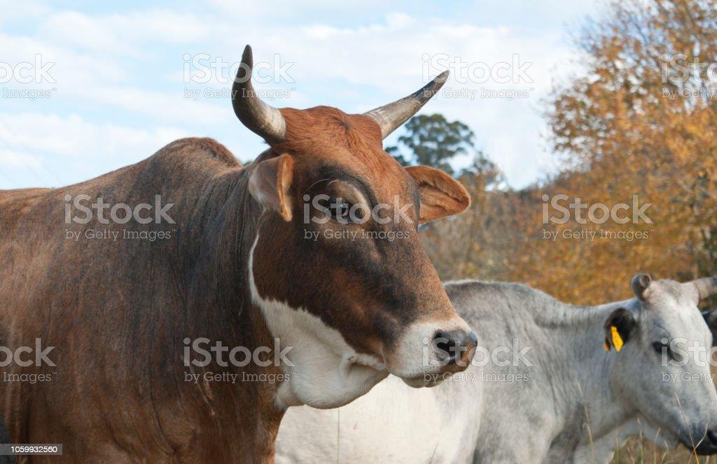 Mixed breed cow stock photo