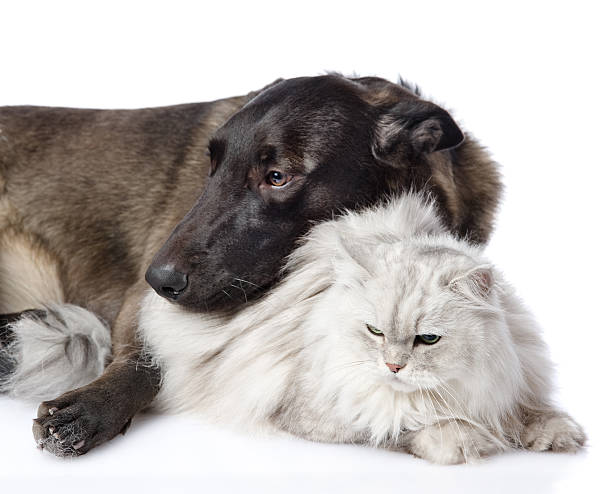 Mixed breed dog and persian cat together picture id540363378?b=1&k=6&m=540363378&s=612x612&w=0&h=vrmhriu9zhie023kld92m7sj7hgzbloa2hbuzawpcgu=