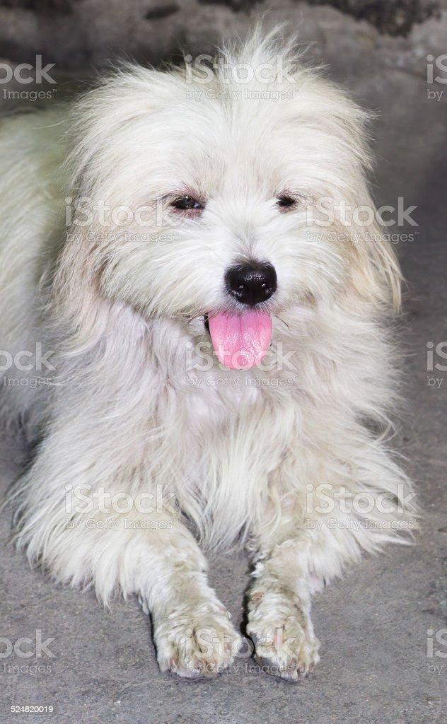 Fotografía De Perros De Raza Mezclada Entre Shih Tzu Y Caniche Y Más
